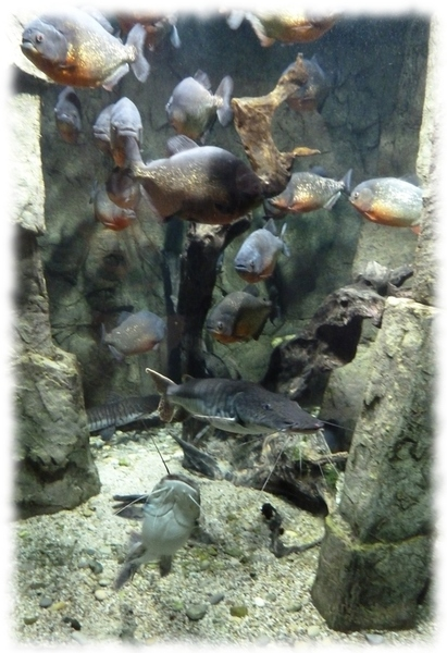 Un banc de Piranhas de l'Aquarium d'Allex