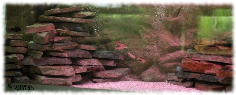 """""""Aquarium de tropheus"""""""