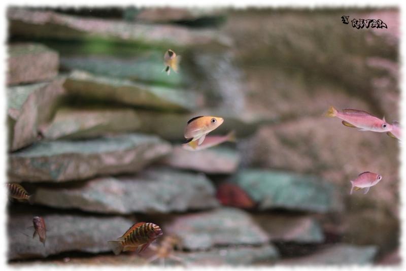 """Cyprichromis Jumbo Kambwimba et Tropheus sp. ""red"" Chimba"""