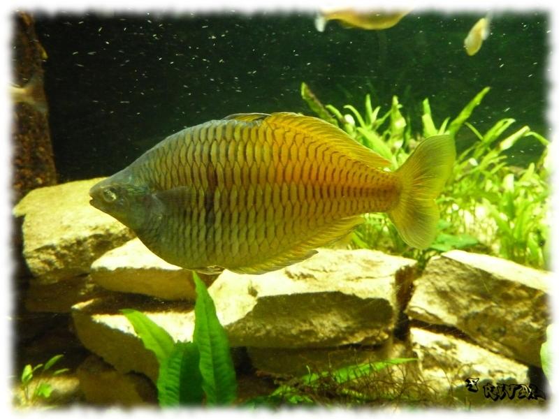 """Melanotaenia Boesemani (Mélano, poisson arc-en-ciel)"""