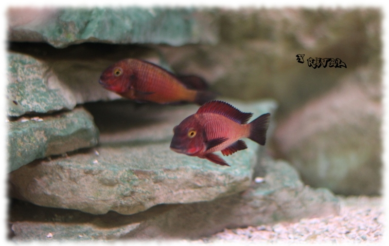 """Tropheus sp. ""red"" Chimba"""