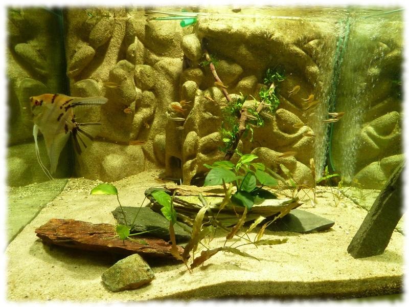 Apteronotus albifrons poisson couteau lectrique l for Bac a poisson 1000l
