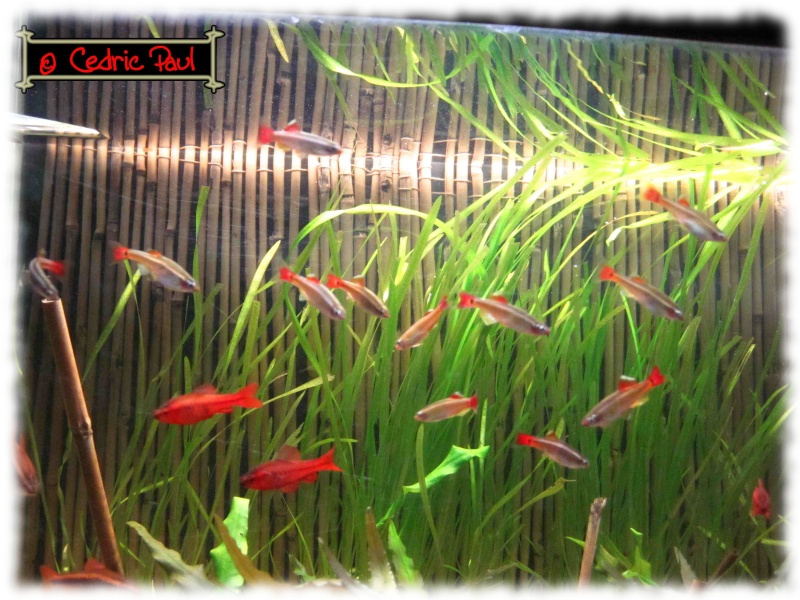 plante aquatique chinoise