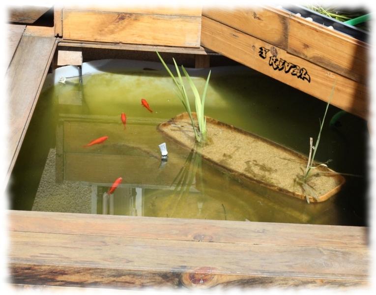 poissons rouges dans un bassin hors-sol