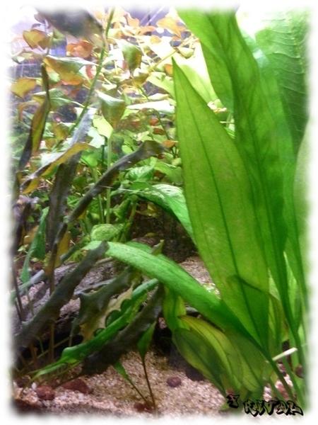 Sol nutritif maison pour aquarium amazonien: terre de bruyère + sable + argile verte