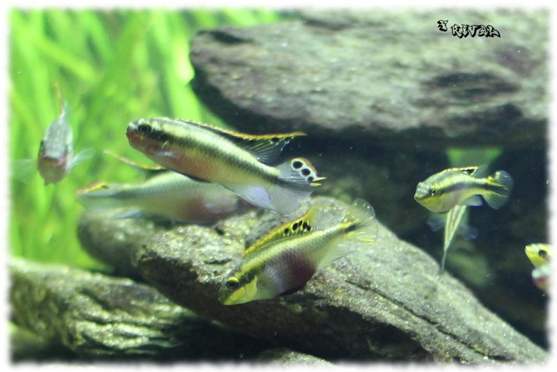 Pelvicachromis pulcher (couple)
