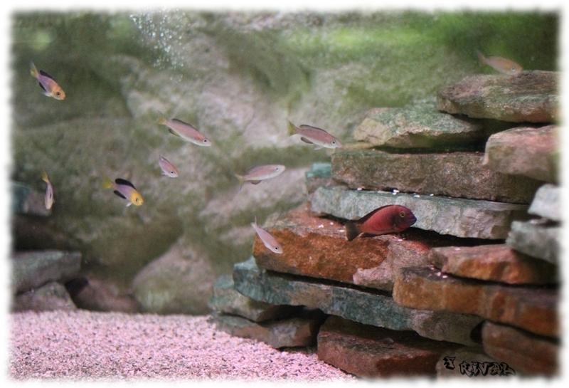 "Tropheus sp. ""red"" Chimba "" et banc de Cyprichromis Jumbo Kambwimba"