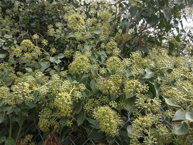 date de floraison de plantes mellifères: lierre