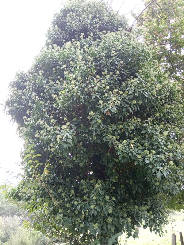 floraison de plantes mellifères: lierre