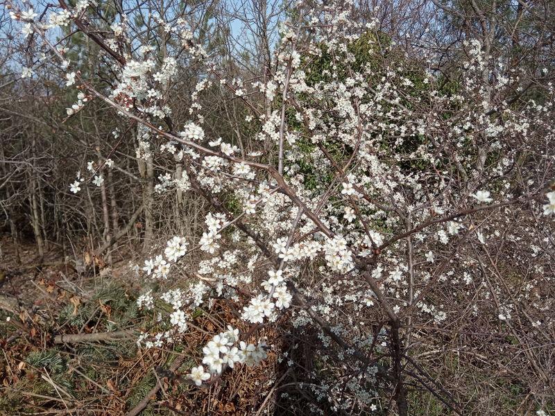floraison de plantes mellifères: prunelier