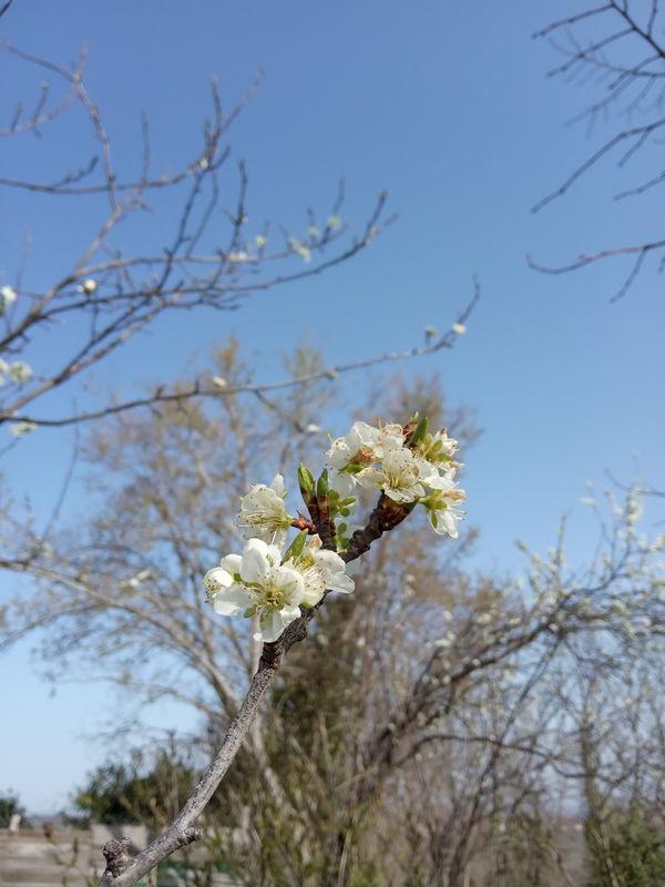 date de floraison de plantes mellifères: prunier