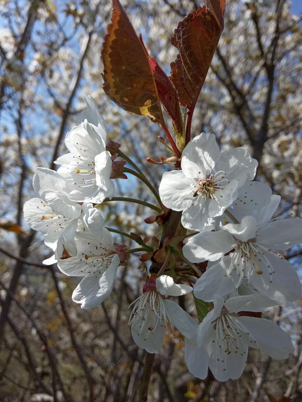 date de floraison de plantes mellifères: merisier