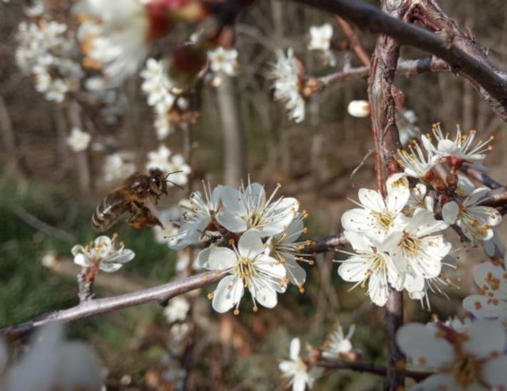 floraison de plantes melifères (abeilles)